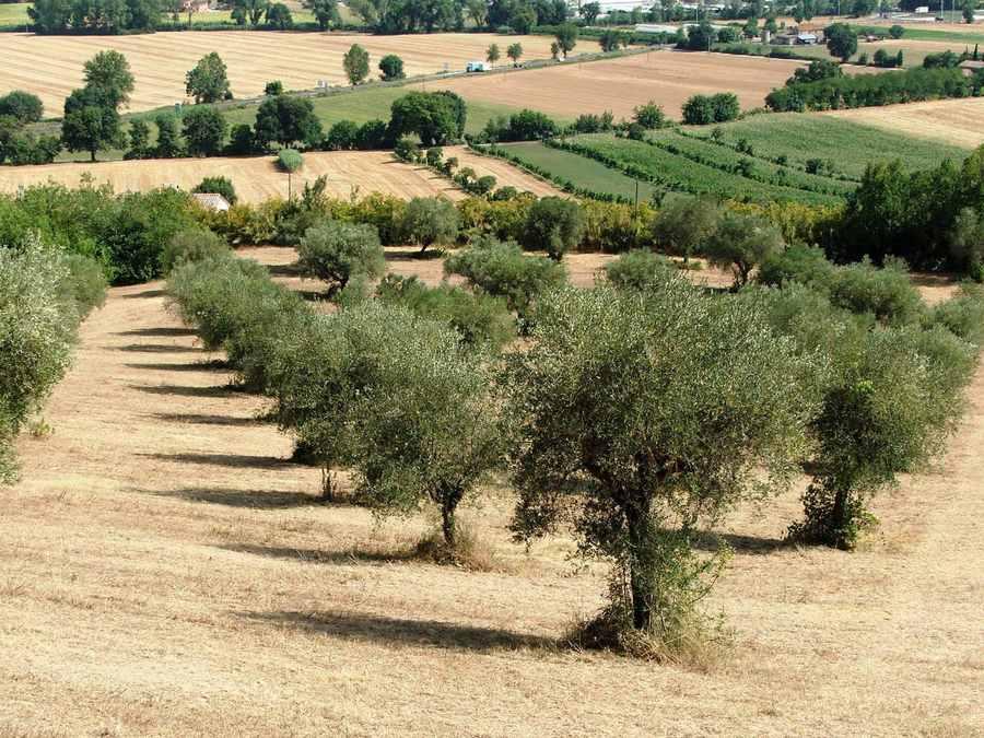 La tradizione di un tempo con la raccolta delle olive