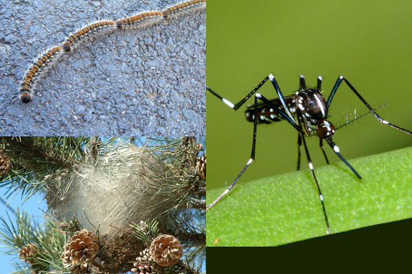 Lotta alla diffusione di zanzare e processionaria
